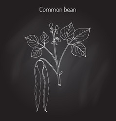 common bean phaseolus vulgaris vector image