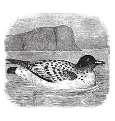 Cape pigeon vintage vector