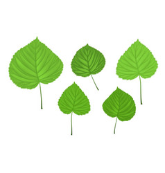 Linden green leaves vector