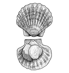 scallop drawing engraving ink lin vector image vector image
