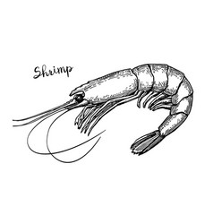 shrimp ink sketch vector image vector image