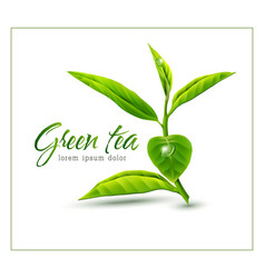Branch of green tea isolated on white background vector