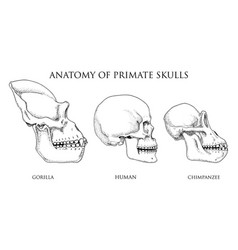 human and chimpanzee gorilla biology and anatomy vector image vector image