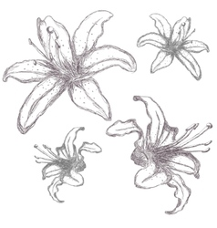 Hand drawn lilium flowers vector image