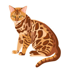 Bengal cat isolated on white selective breeding vector