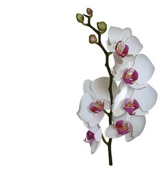 photorealistic of phalaenopsis a branch of white vector image vector image