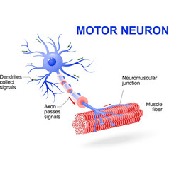 Motor neuron vector