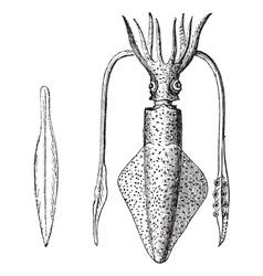 European Squid vintage engraving vector image vector image