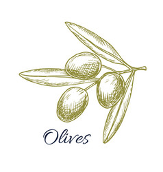 Olive branch of green olives sketch vector