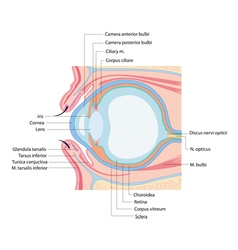 anatomy eye vector image