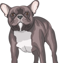French bulldog v vector image vector image