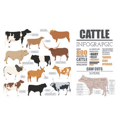 Cattle breeding infographic template flat design vector