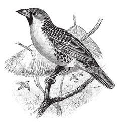 Weaver bird vintage vector