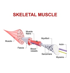 skeletal muscle vector image vector image
