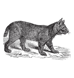 Lynx vintage engraving vector