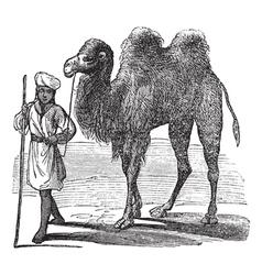Bactrian camel vintage vector image