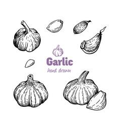 Garlic bulbs and cloves hand drawn vector