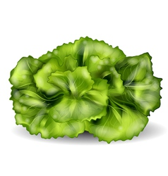 Lettuce isolated on a white vector
