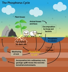 Phosphorus cycle vector