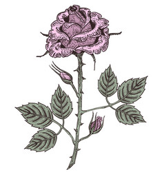 Engraved rose color vector