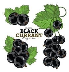 Currant with leaves on white background vector