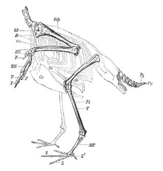 Skeleton of the limbs and tail of a carinate bird vector