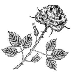 rose flower engraving vector image