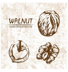Digital walnut hand drawn vector