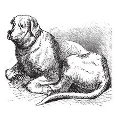 Saint Bernard vintage engraving vector image