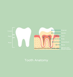 healthy tooth anatomy with word vector image vector image