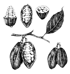 hand drawn cocoa beans set vector image