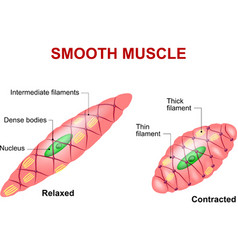 Smooth muscle vector