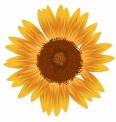yellow sunfower vector image