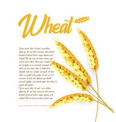 Grain wheat barley oat rice cob bright vector