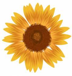yellow sunfower vector image