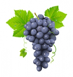Grape cluster vector