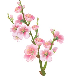 flowering branch of sakura vector image
