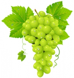white grape cluster vector image vector image