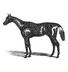 Thoroughbred vintage engraving vector image