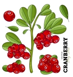 Cranberry with leaves on white background vector