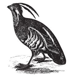 Mountain quail vintage vector