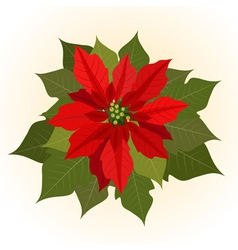 poinsettia flowers for christmas vector image vector image