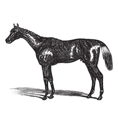Thoroughbred vintage engraving vector image