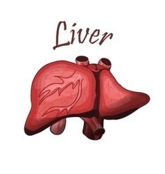 Human liver in digestive system vector