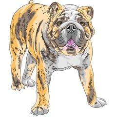 Dog english bulldog vector