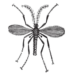 Hessian fly vintage engraving vector image vector image