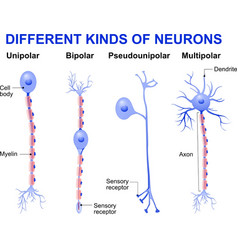 Different kinds of neurons vector image