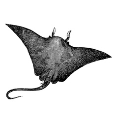 Manta ray engraving vector image vector image