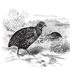 Common quail of europe vintage vector