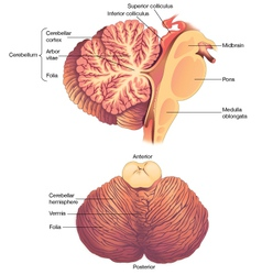 Anatomy of the human cerebellum vector